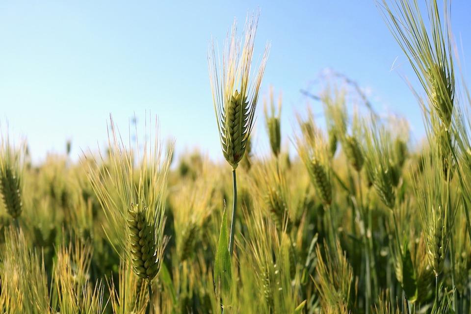 Quel est le pourcentage de la population allergique au gluten ?